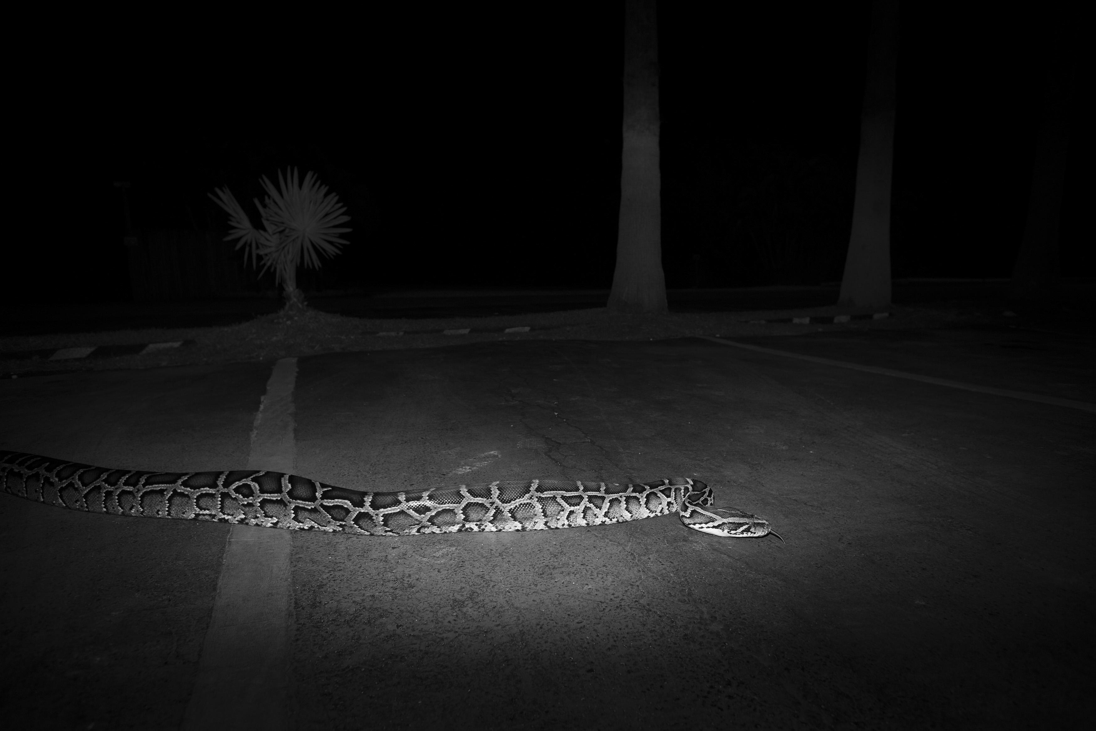 Burmese_Python,_Parking_Lot,_Everglades