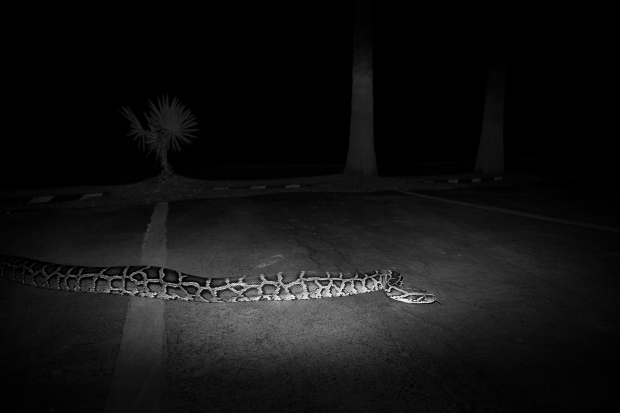 Burmese_Python,_Parking_Lot,_Everglades